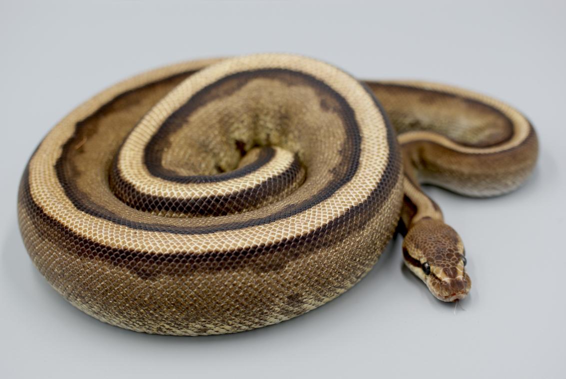 Ball Python Breeders — Colorado Cold Bloods