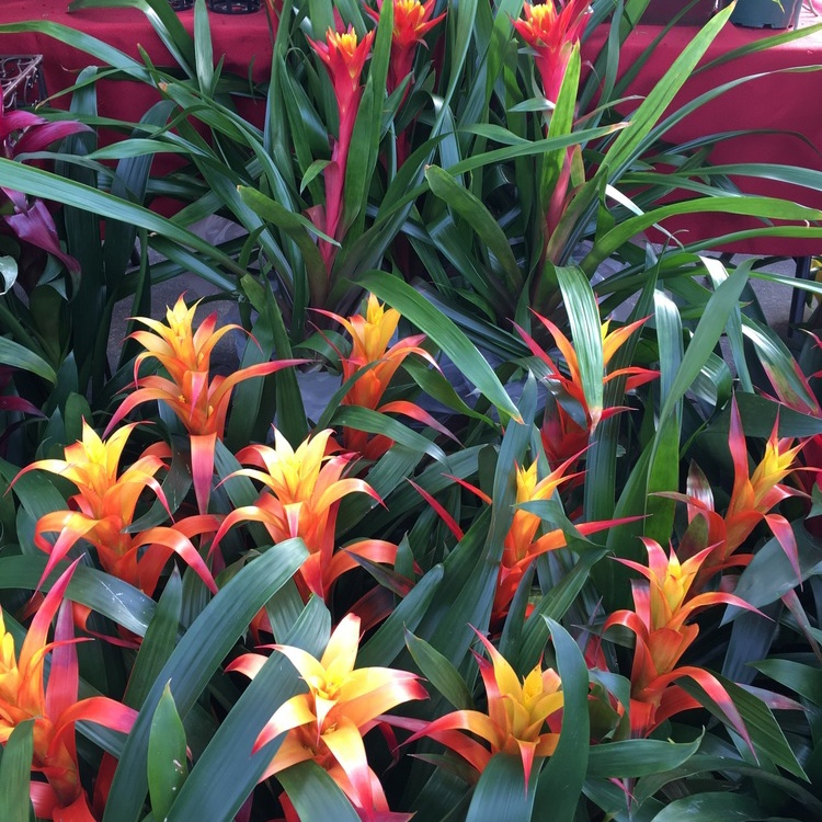 Annie Roo Bromeliads - Exotic bromeliads and orchids.