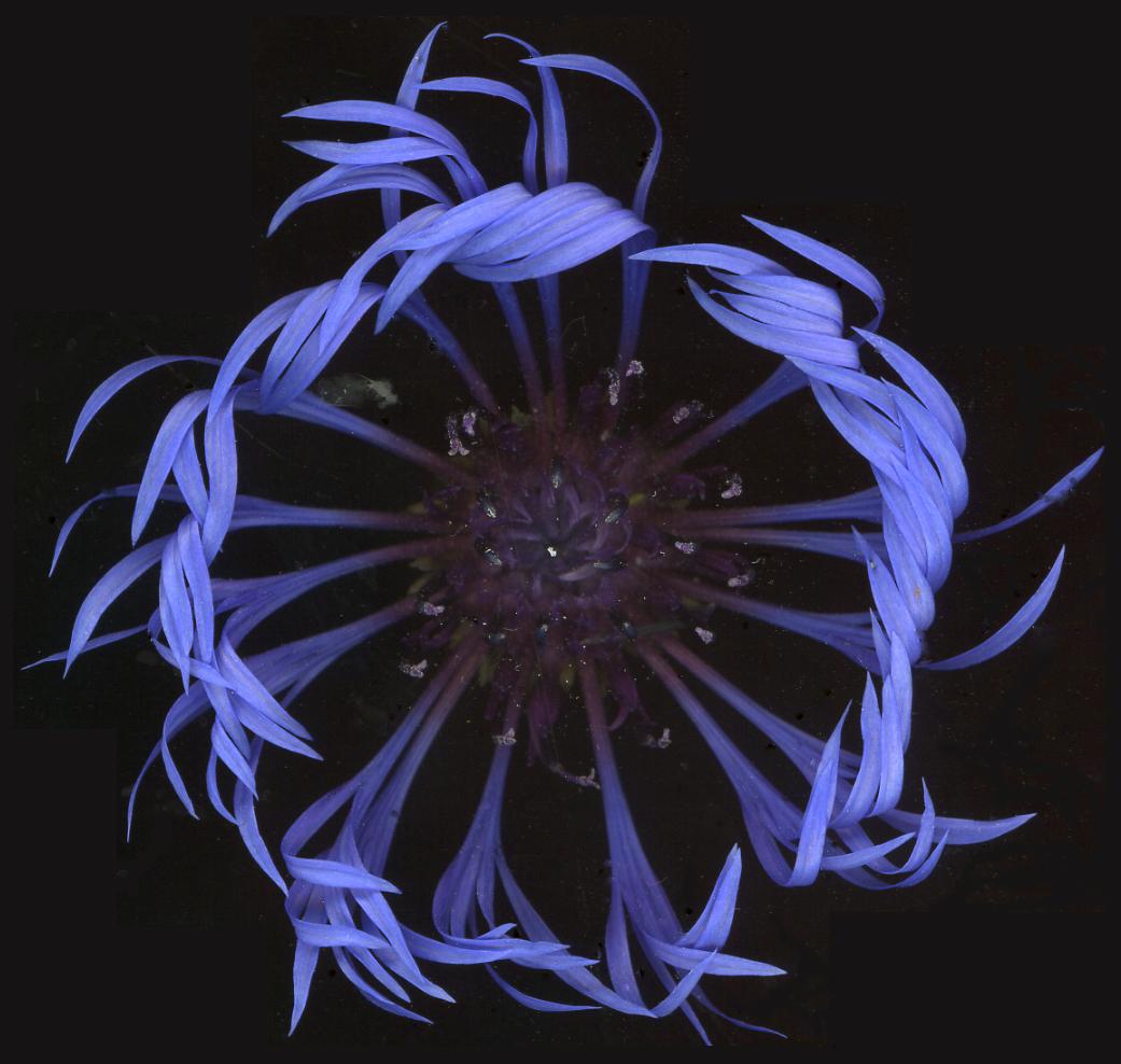 Blue Enso