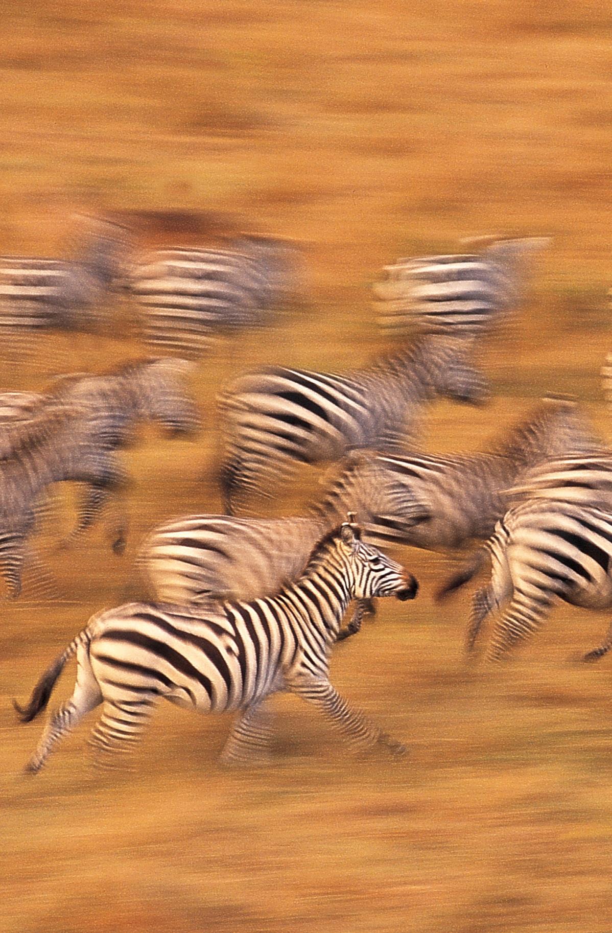 zebr.jpg