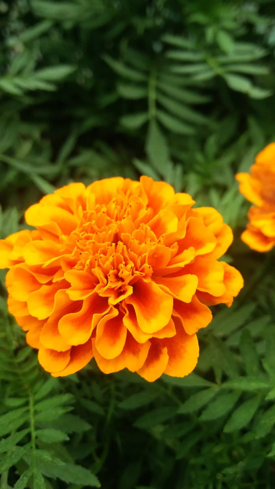 - The scientific name of marigold which is known as Tagetes, derives its name from the Etruscan God 'Tages,' the God of wisdom.