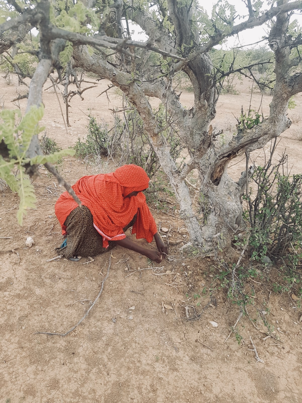 Amina collecting Frankincense resin from the ground