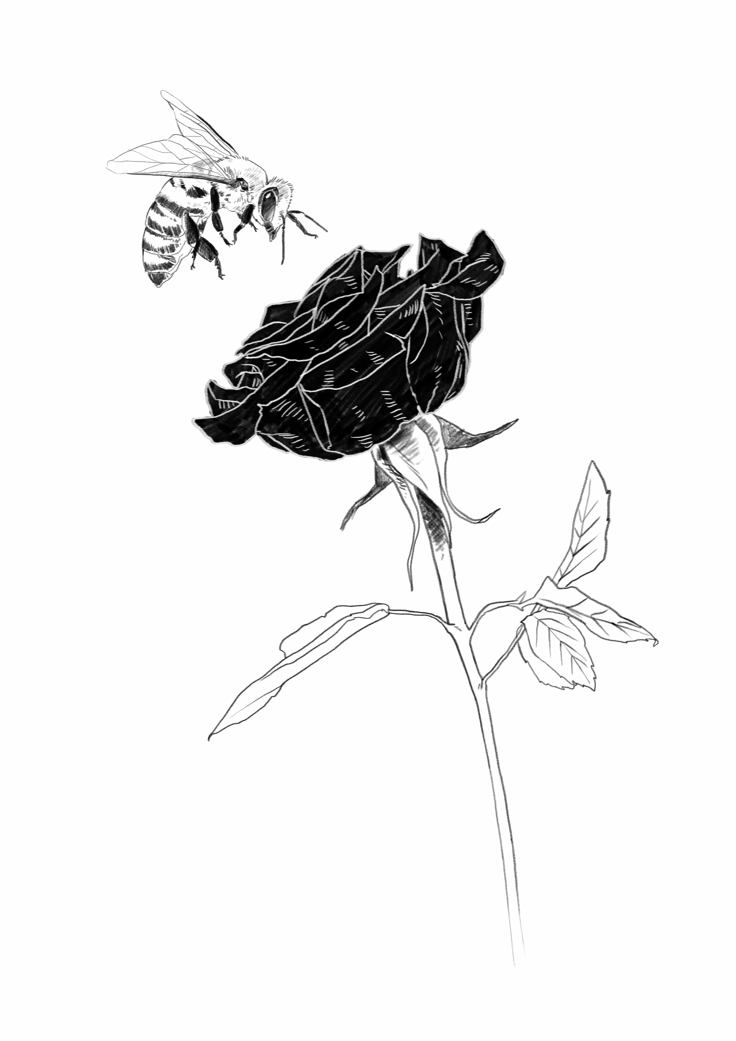 a rose and a bee bw.jpg