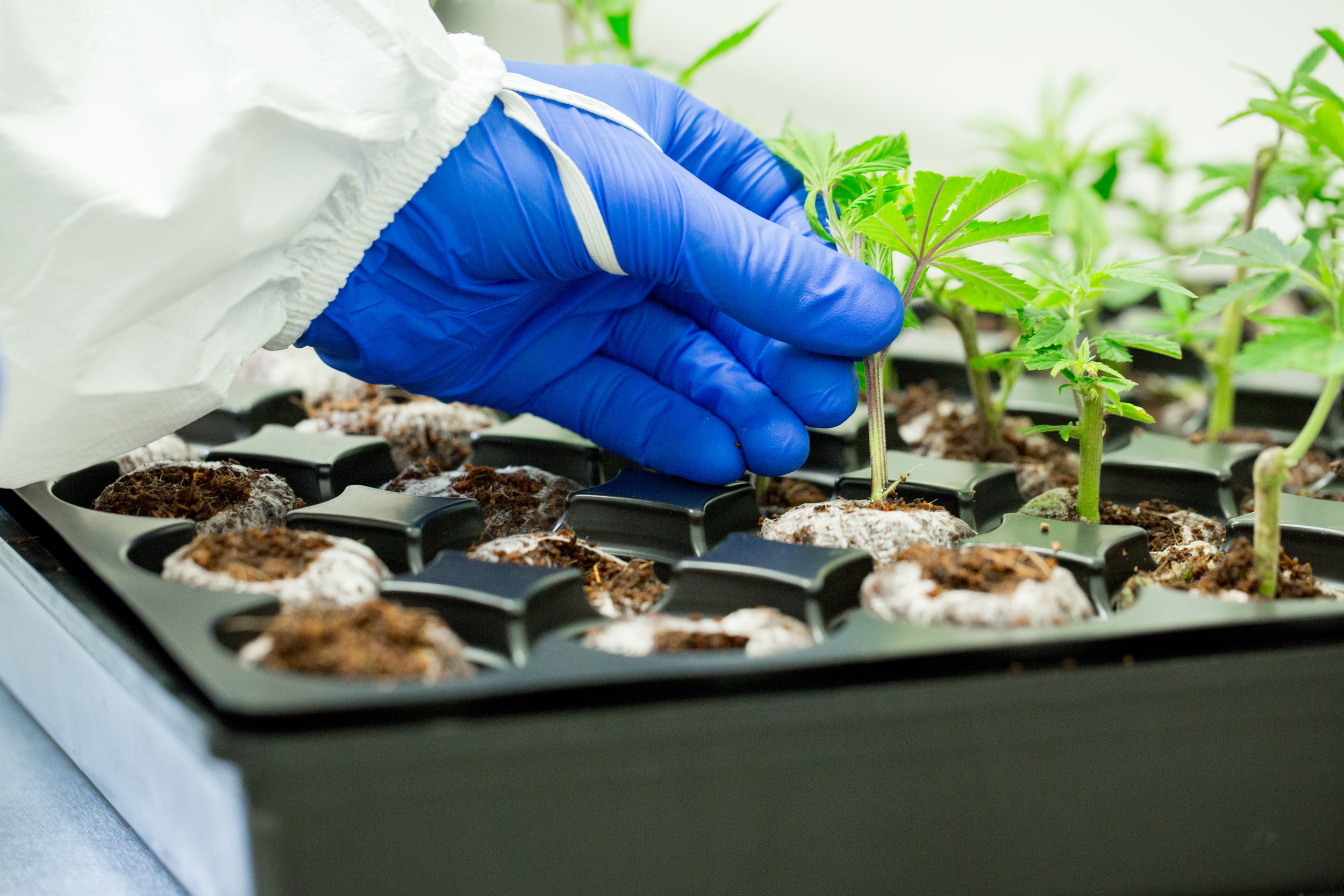 Medical_Cannabis-8.jpg