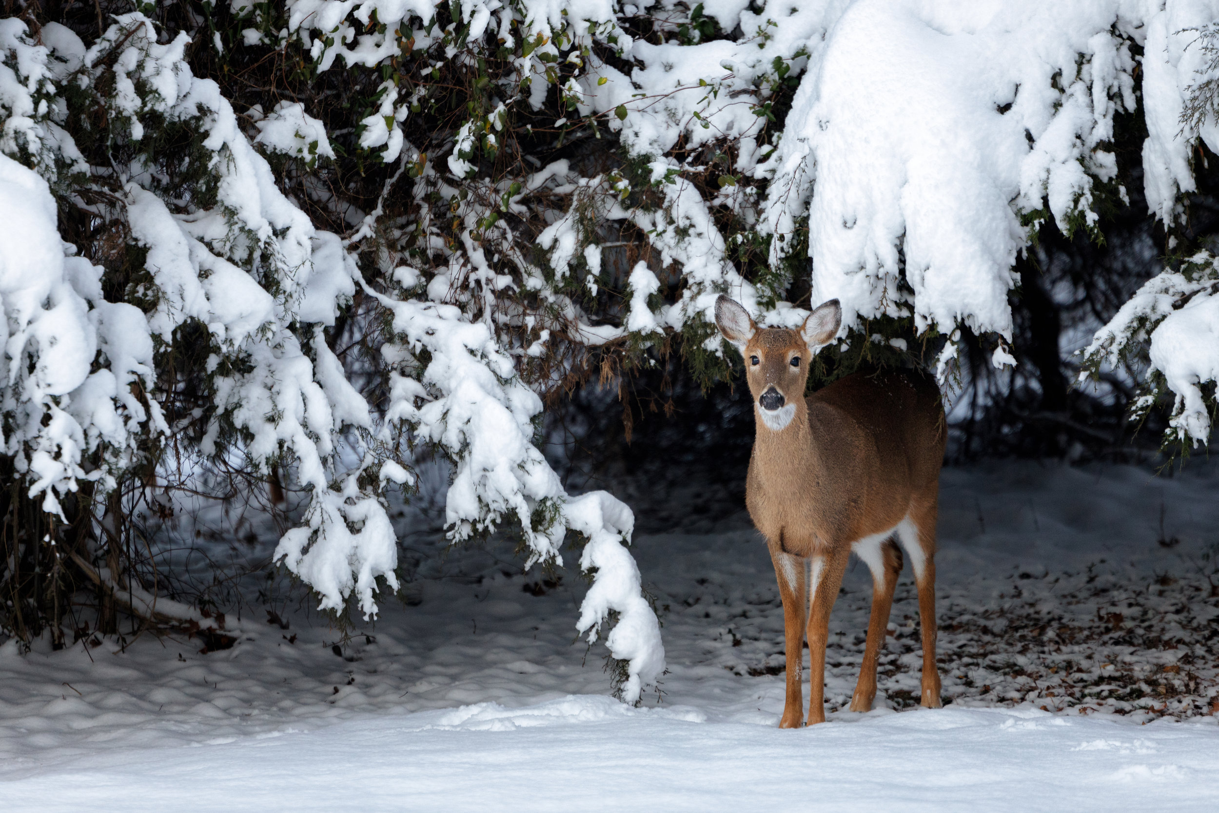A white-tailed deer (odocoileus virginianus) stands under a snow covered evergreen in the winter in Virginia, USA by Ricky Kresslein. Shot at 1/320 sec., f/2.8, ISO 800.