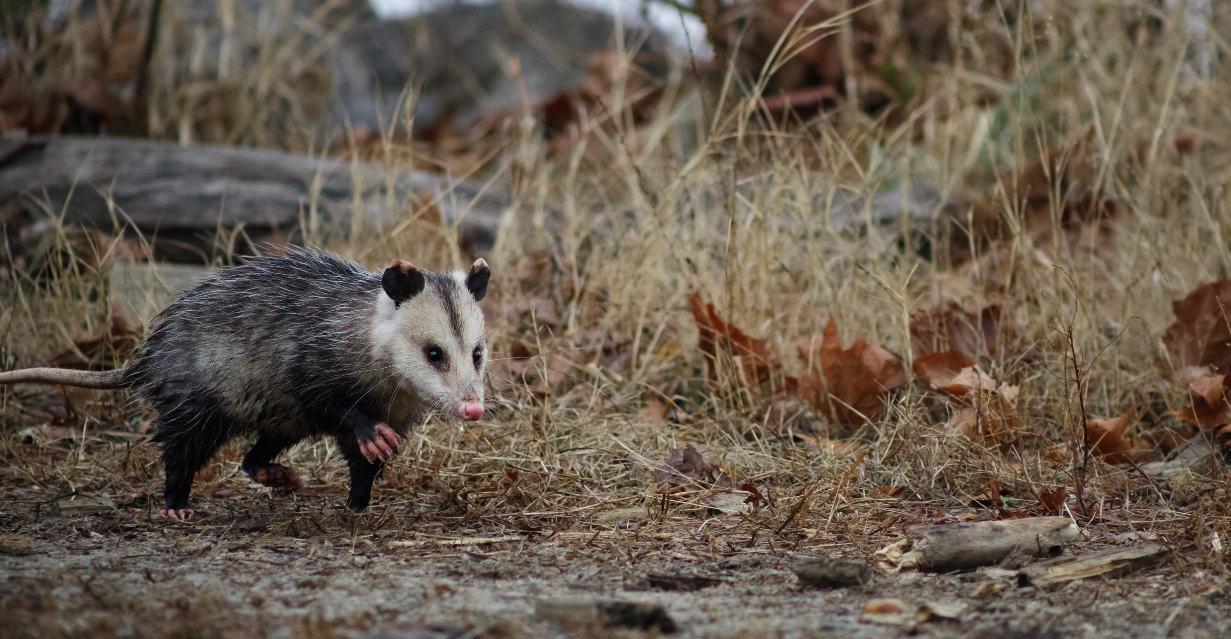 Opossum ( Didelphimorphia ) running past during the day in Occoquan Bay National Wildlife Refuge in Occoquan, Virginia.