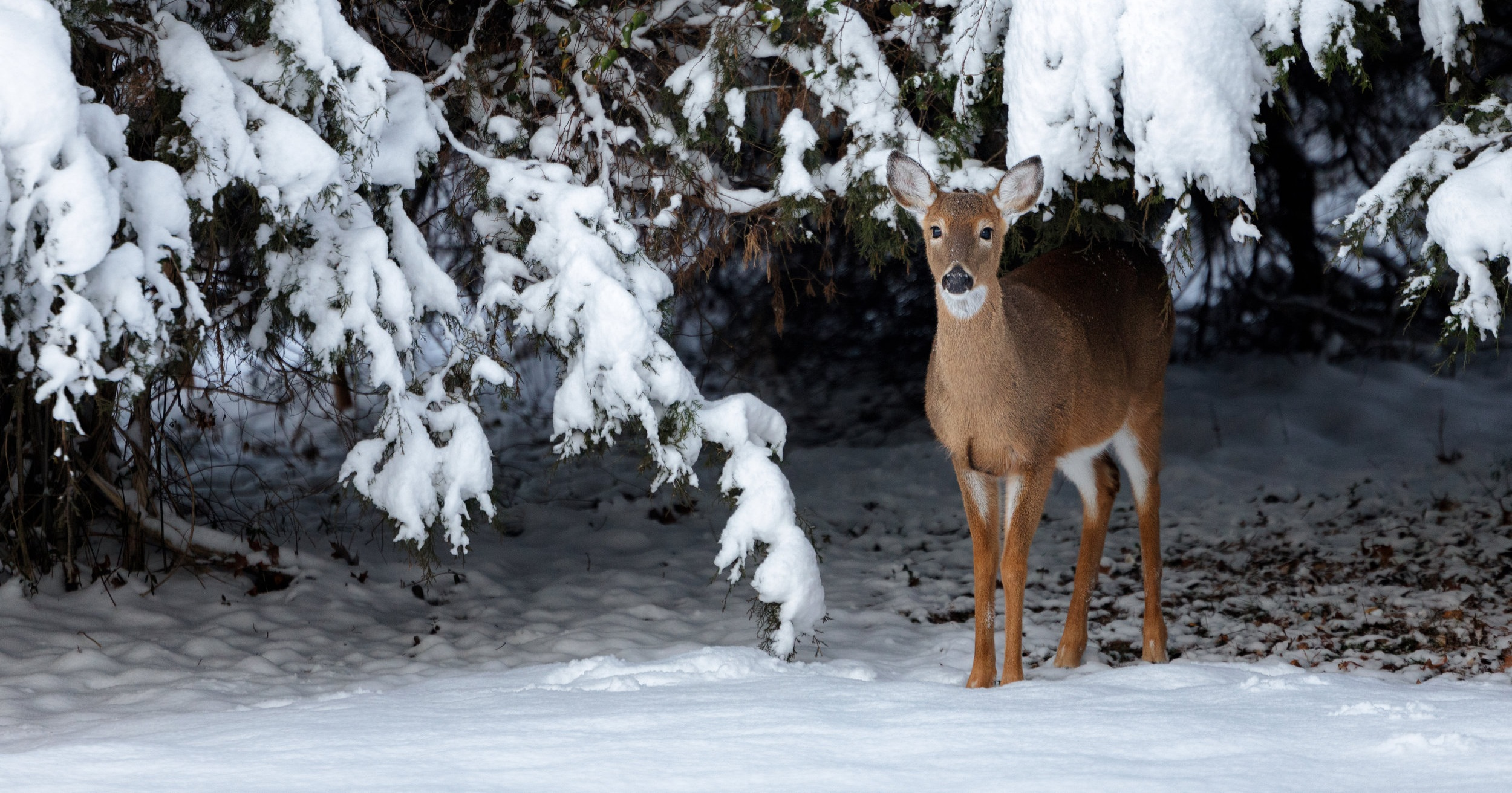 A white-tailed deer (odocoileus virginianus) stands under a snow covered evergreen in the winter in Virginia, USA.