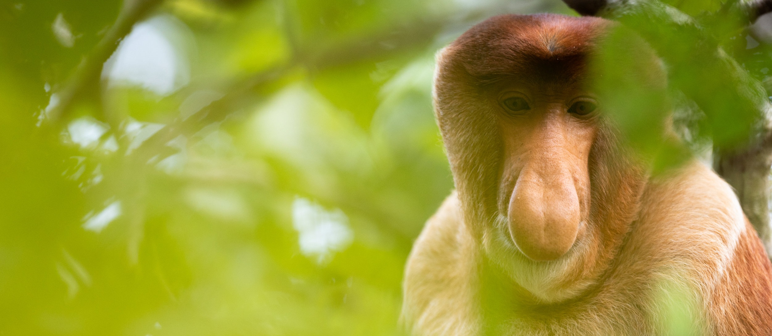 Proboscis monkey (Nasalis larvatus), or long-nosed monkey, close-up portrait in Bako National Park, Sarawak, Malaysia.