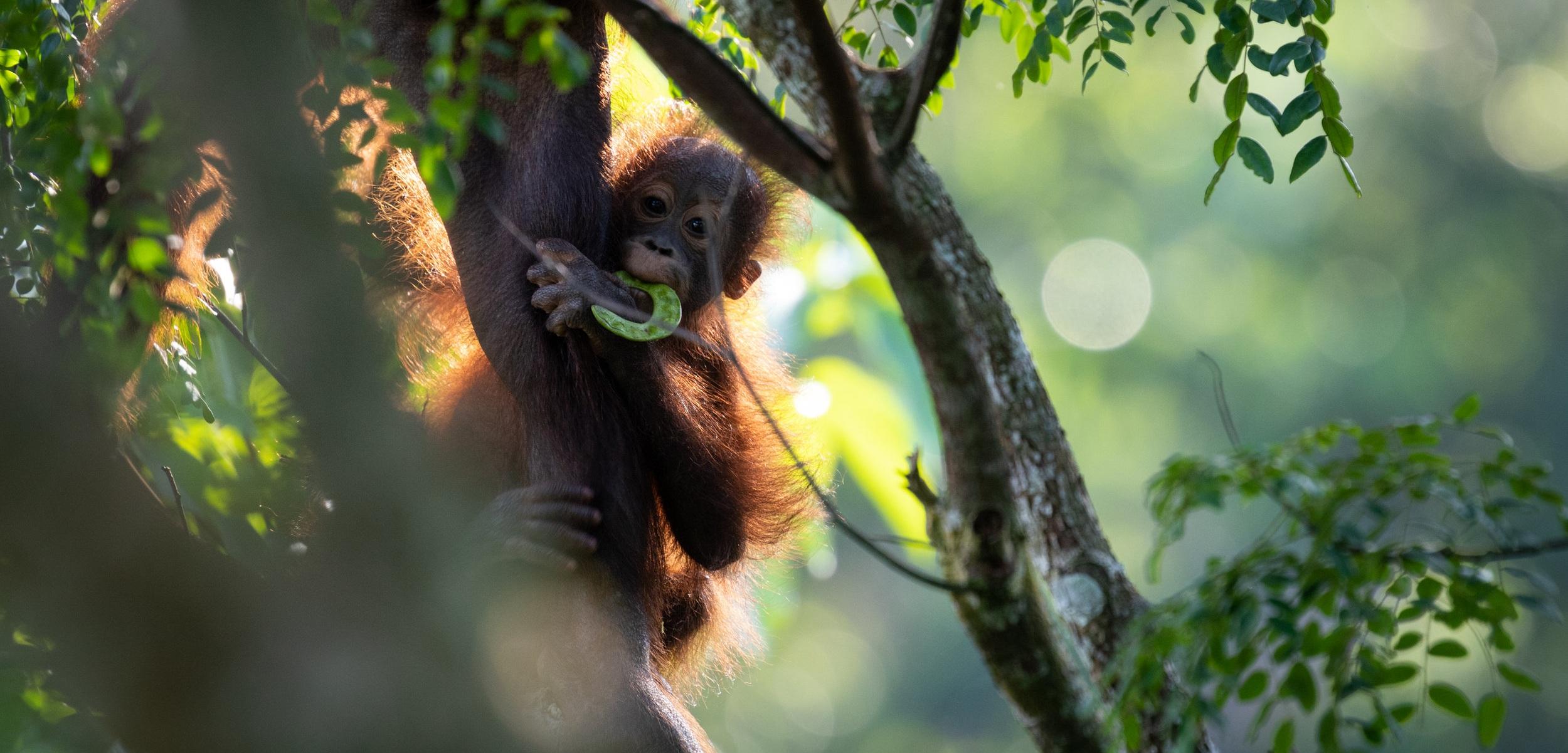 Bornean orangutan (Pongo pygmaeus) eating beans and clinging to mother's leg in Sepilok, Malaysia.