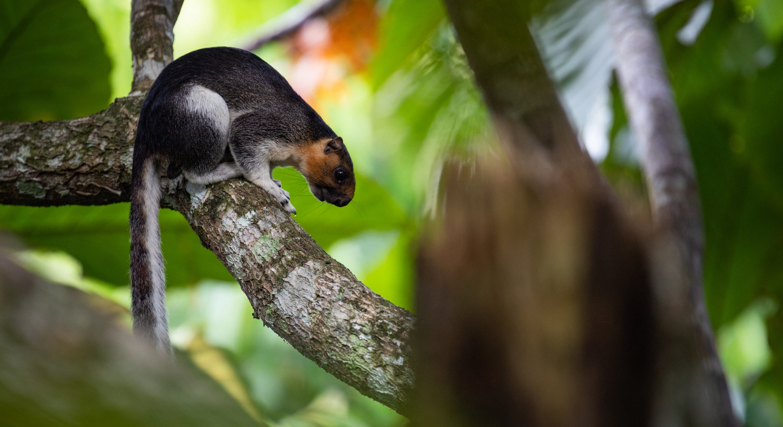 Cream-coloured giant squirrel or pale giant squirrel (Ratufa affinis) on a tree branch in Borneo, Sepilok, Malaysia.