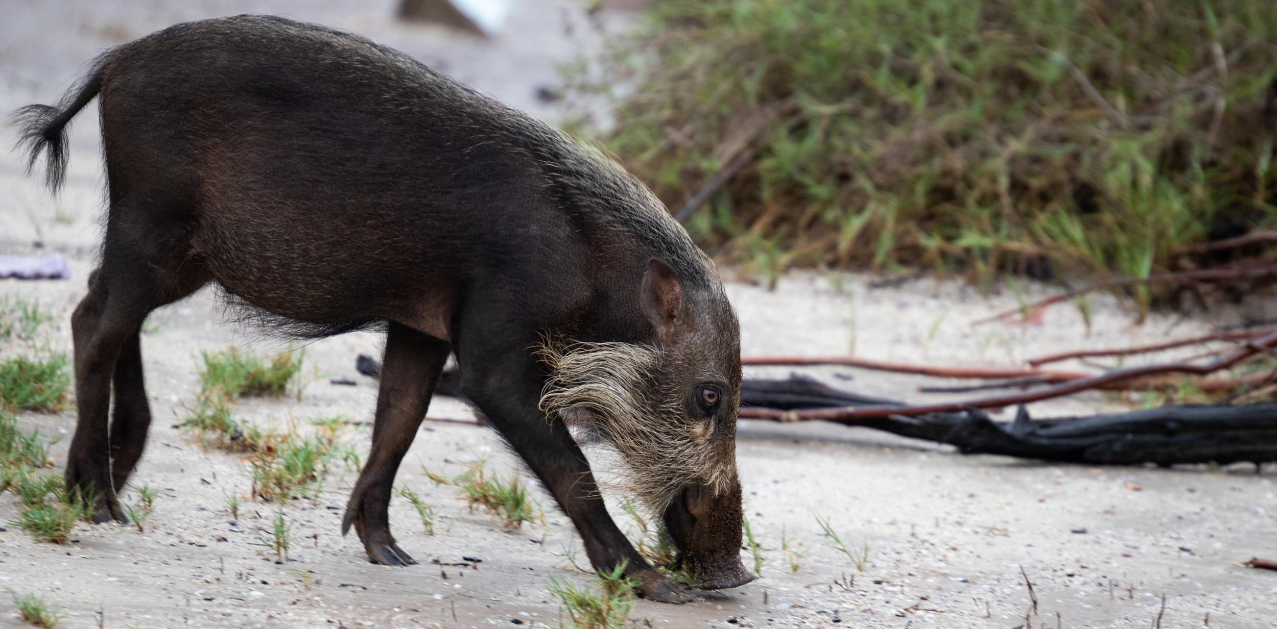 Young Bornean bearded pig (Sus barbatus) searching a sandy beach for food in Bako National Park in Sarawak, Malaysia.
