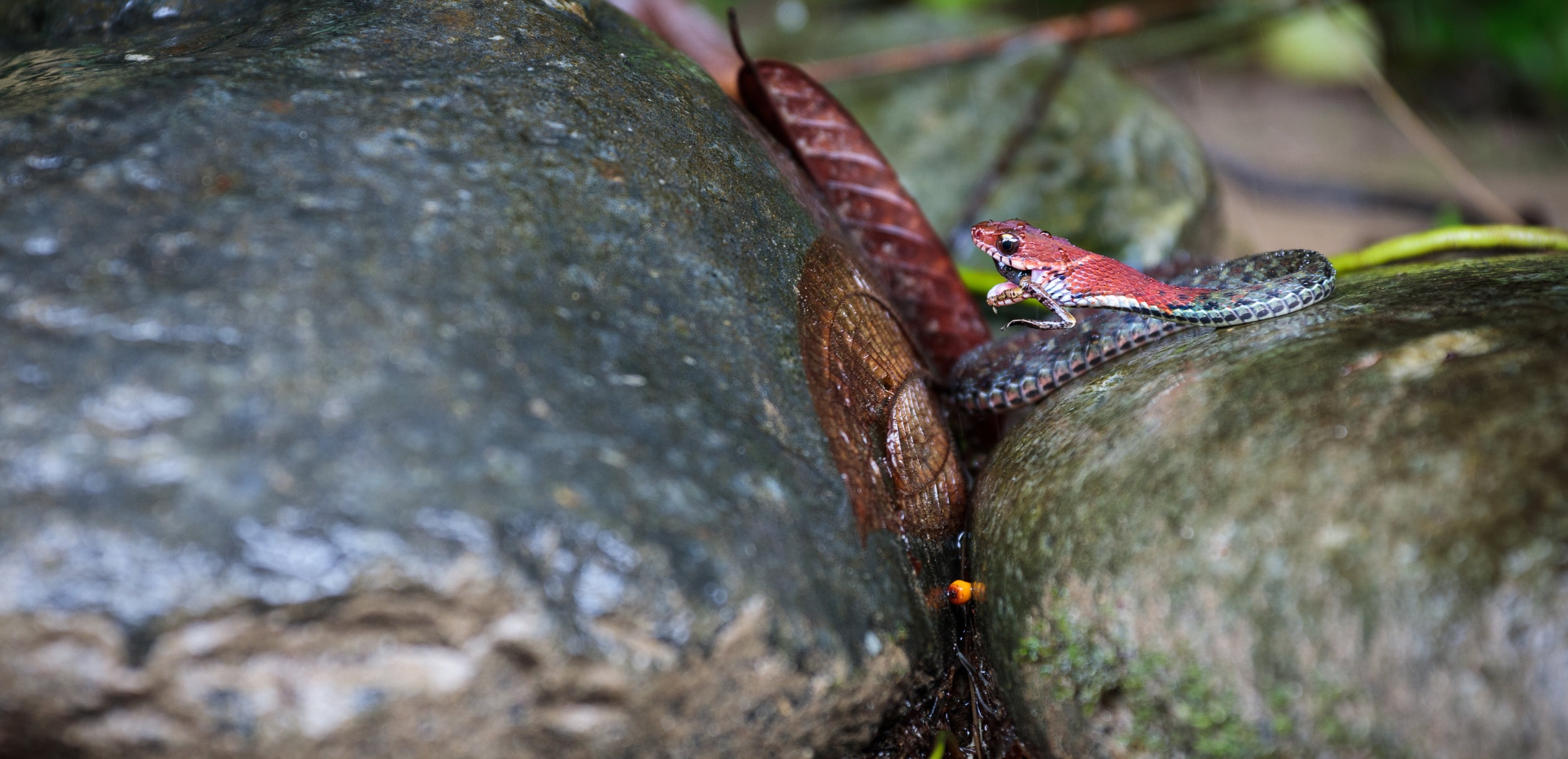 Red-headed krait (Bungarus flaviceps) eating a frog in Bukit Lawang, Indonesia.