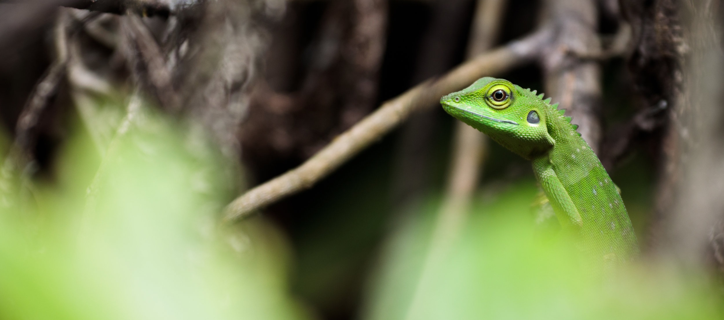 Green crested lizard (Bronchocela cristatella) portrait in the jungle of Bukit Lawang, Indonesia.