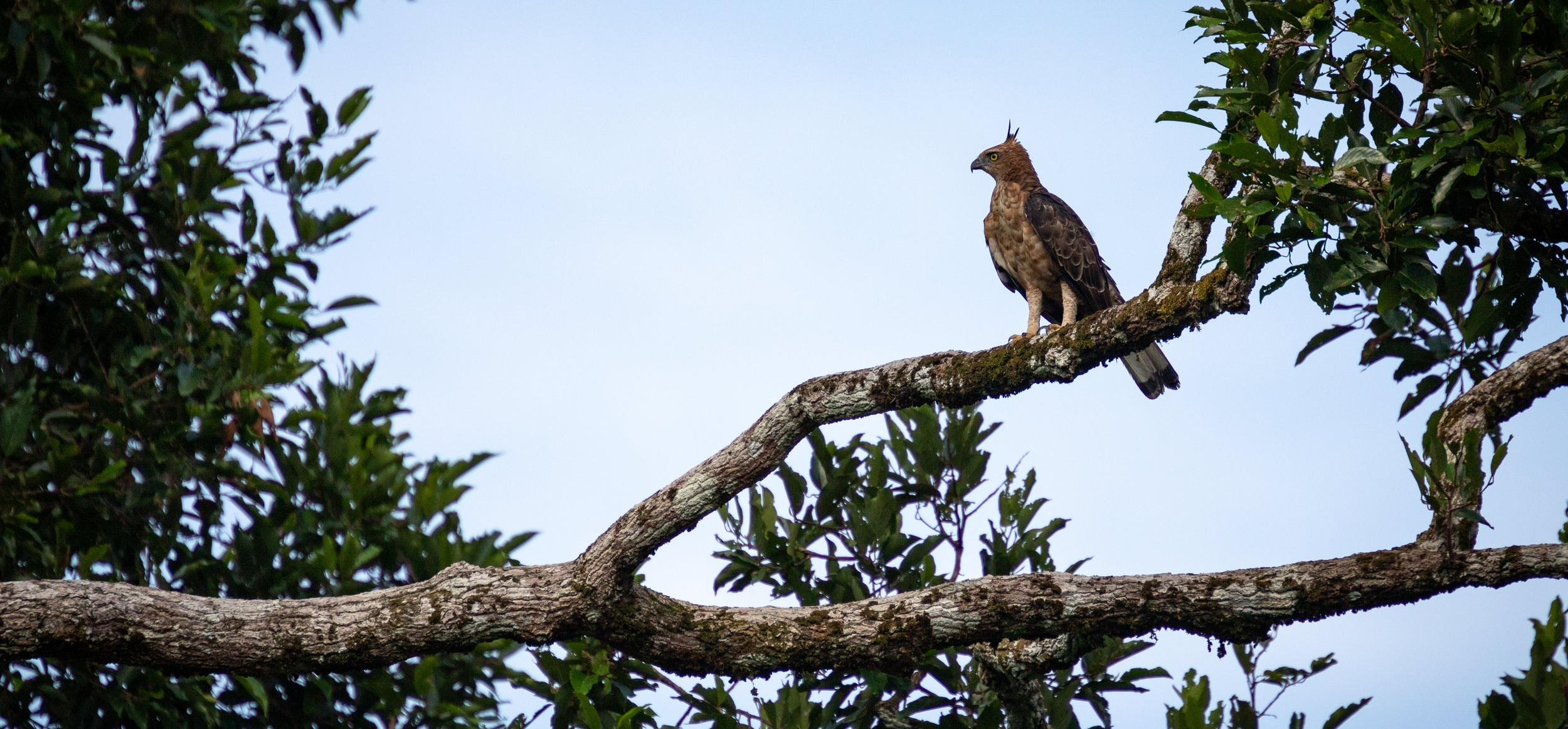 Wallace's hawk-eagle (Nisaetus nanus) perched on a tree branch in Borneo, Sepilok, Malaysia.