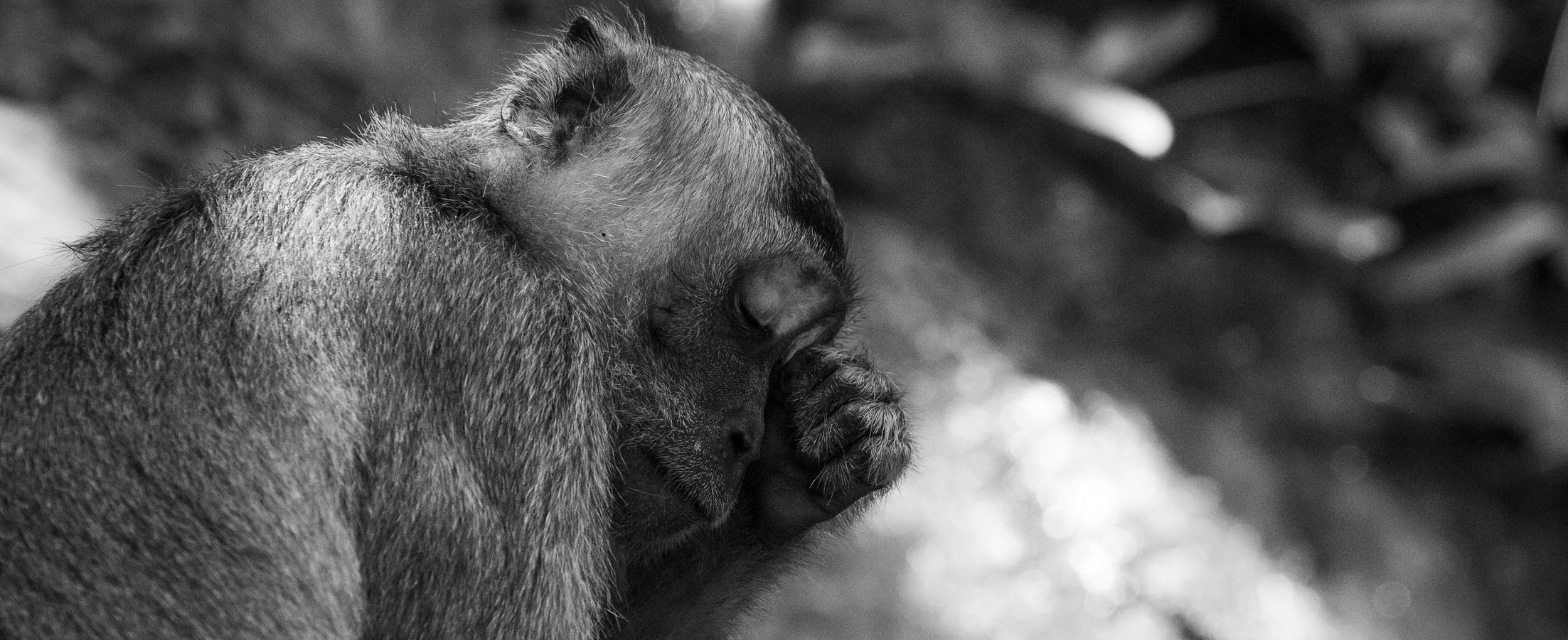 An adult male Long-tailed Macaque rubbing its eye in Bako National Park, Borneo, Malaysia.