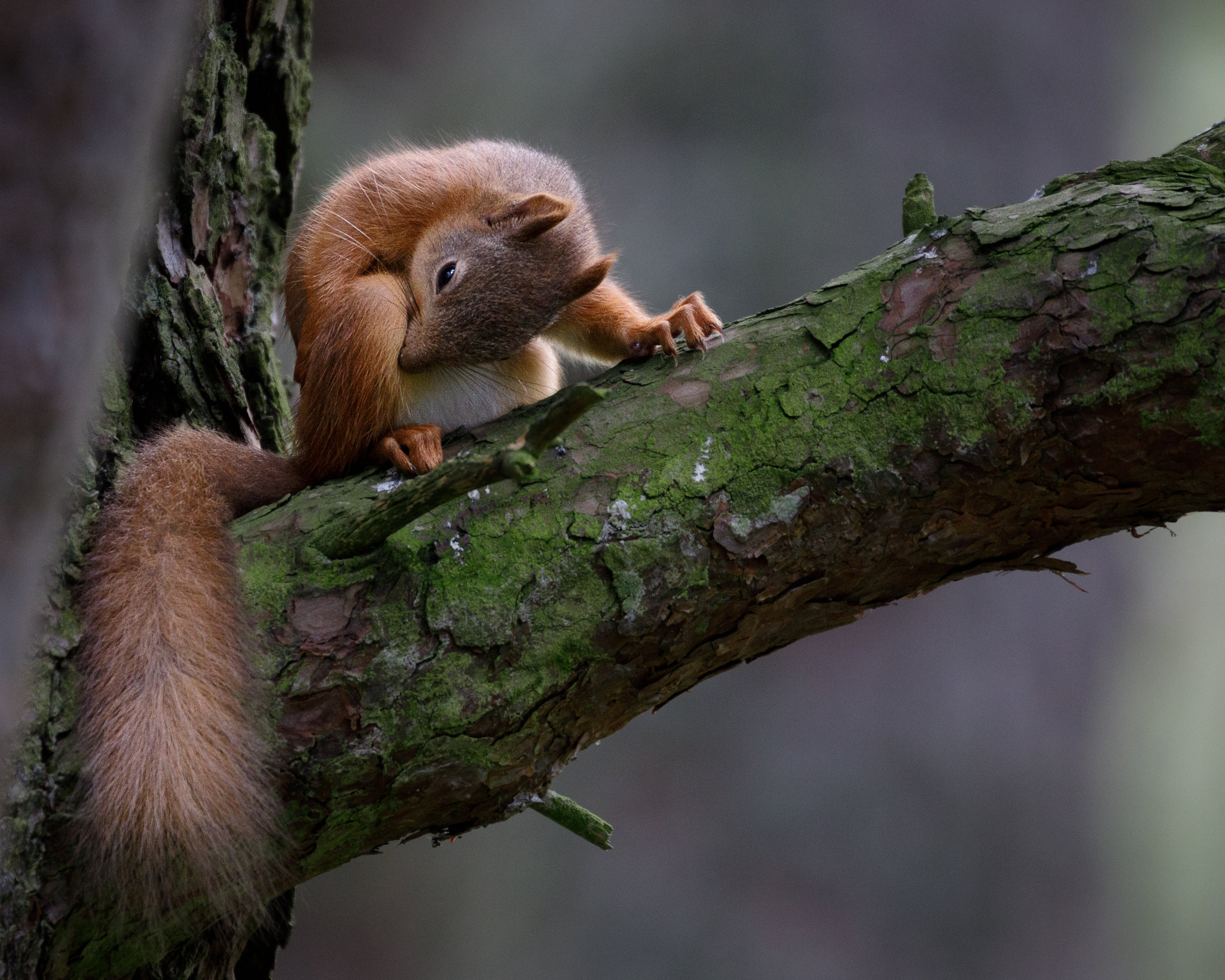 Eurasian red squirrel (Sciurus vulgaris) nibbling an itch in the bend of a tree at the Loch Garten Osprey Centre in Cairngorms National Park, Scotland.