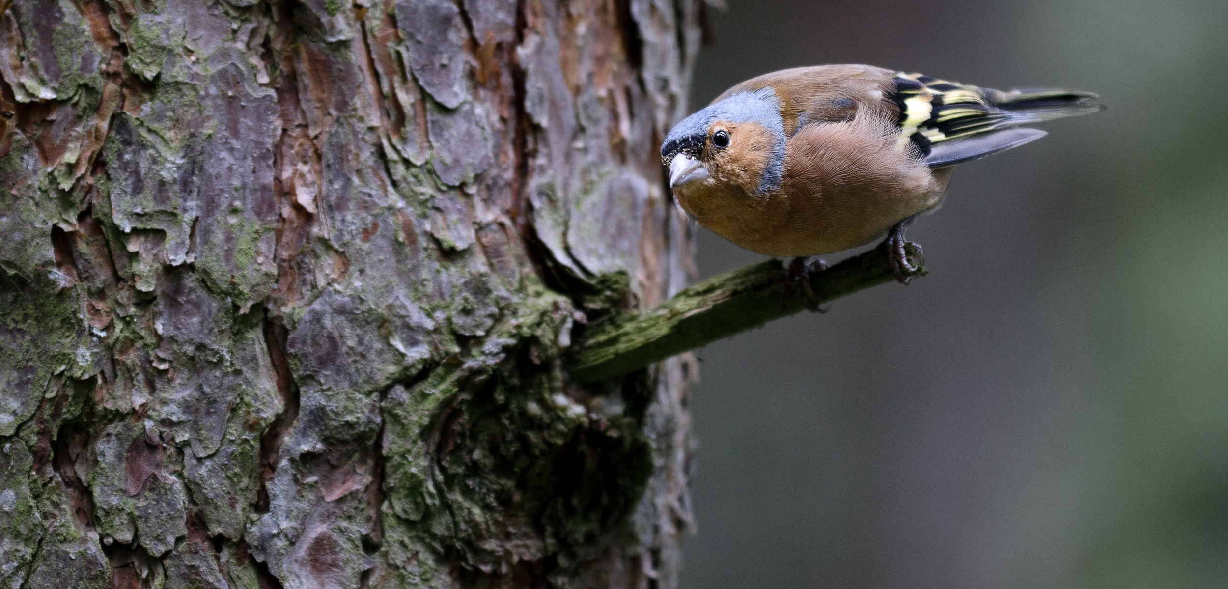 Common chaffinch (Fringilla coelebs) male perched on a branch, ready for take off at the Loch Garten Osprey Centre in Cairngorms National Park, Scotland.