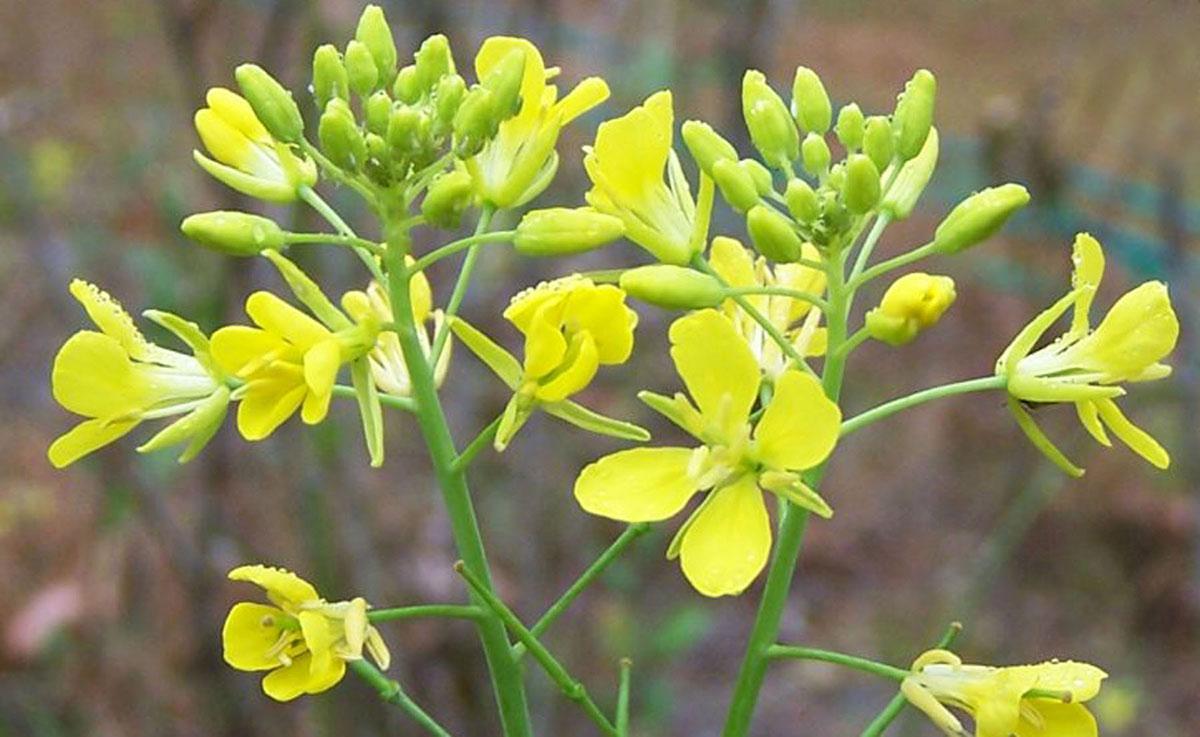 mustard-flower.jpg
