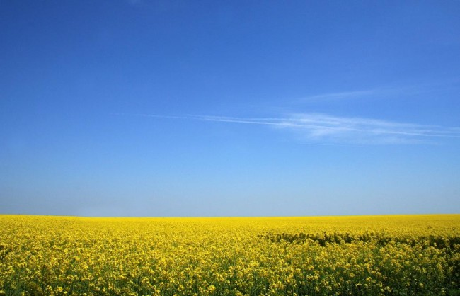 camelina-field(1).jpg