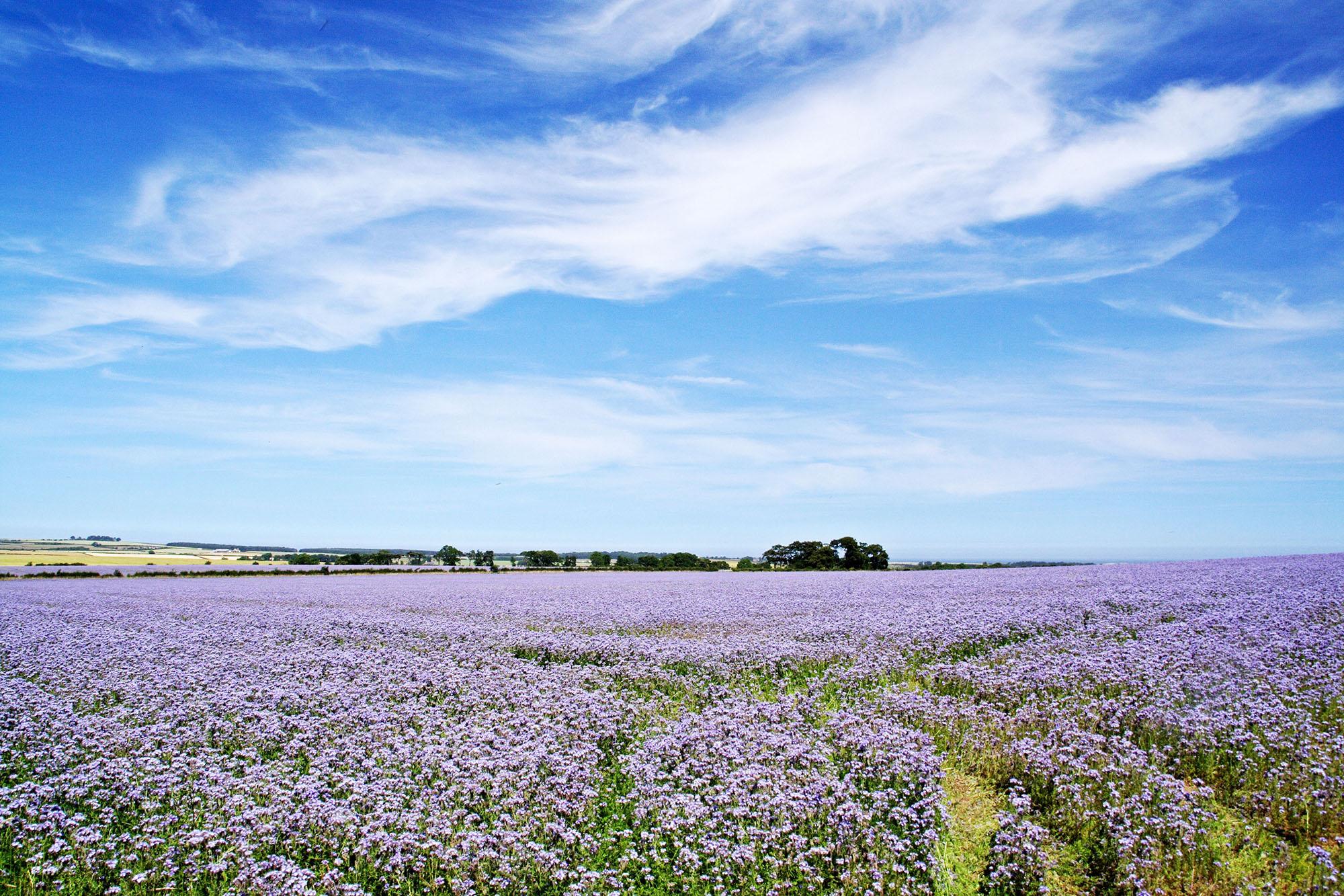 Flax-field-sky.jpg