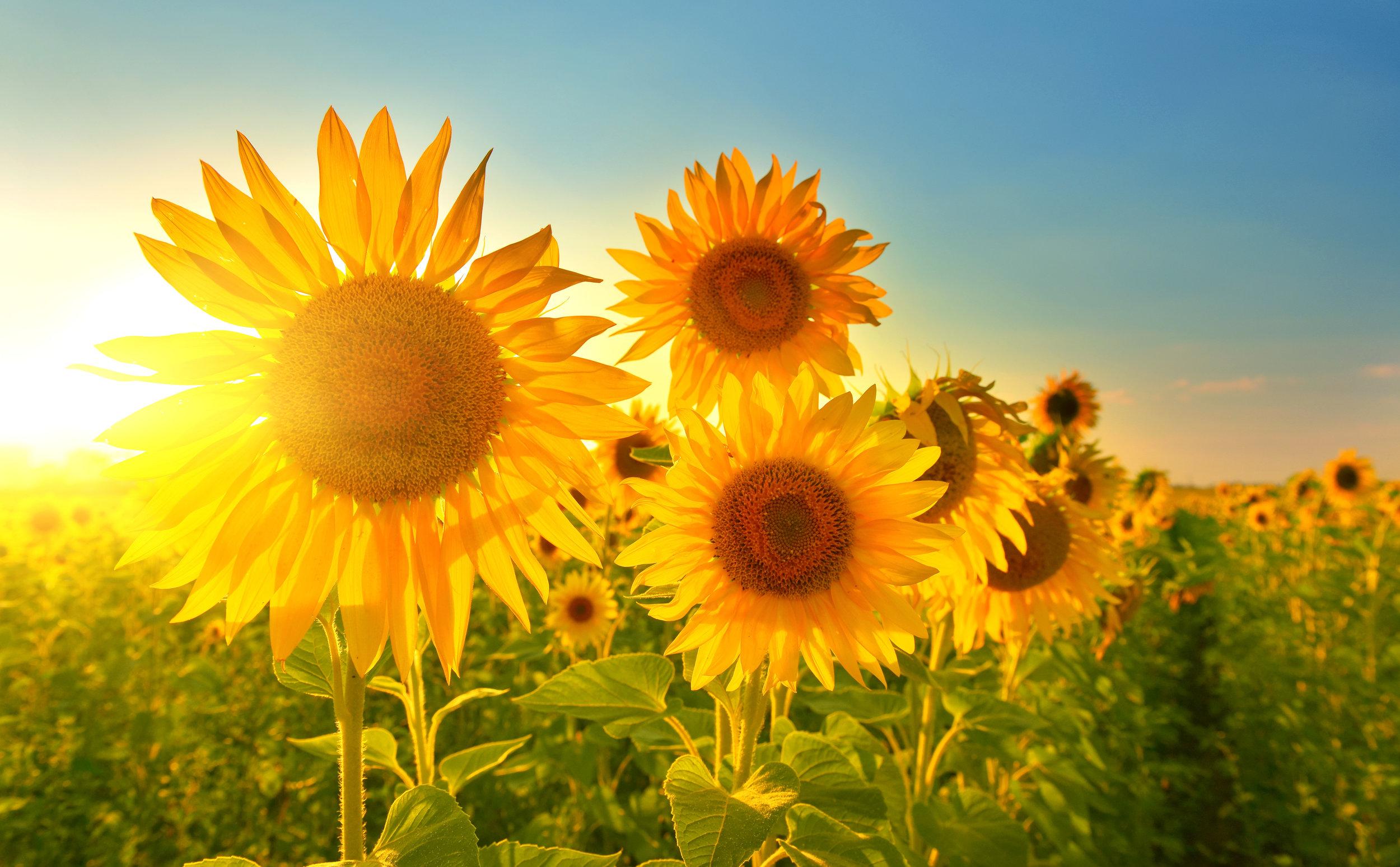 Sunflowers-field.jpg