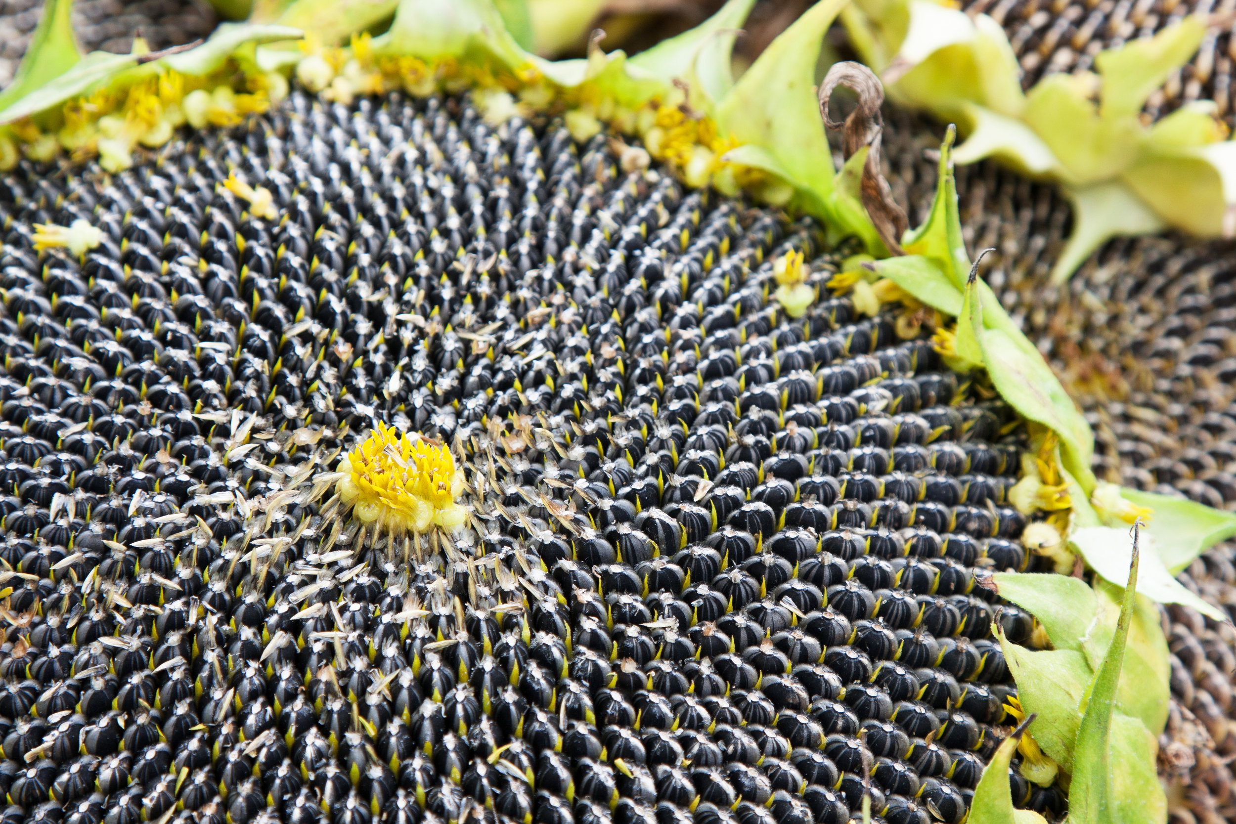 Sunflower-closeup.jpg