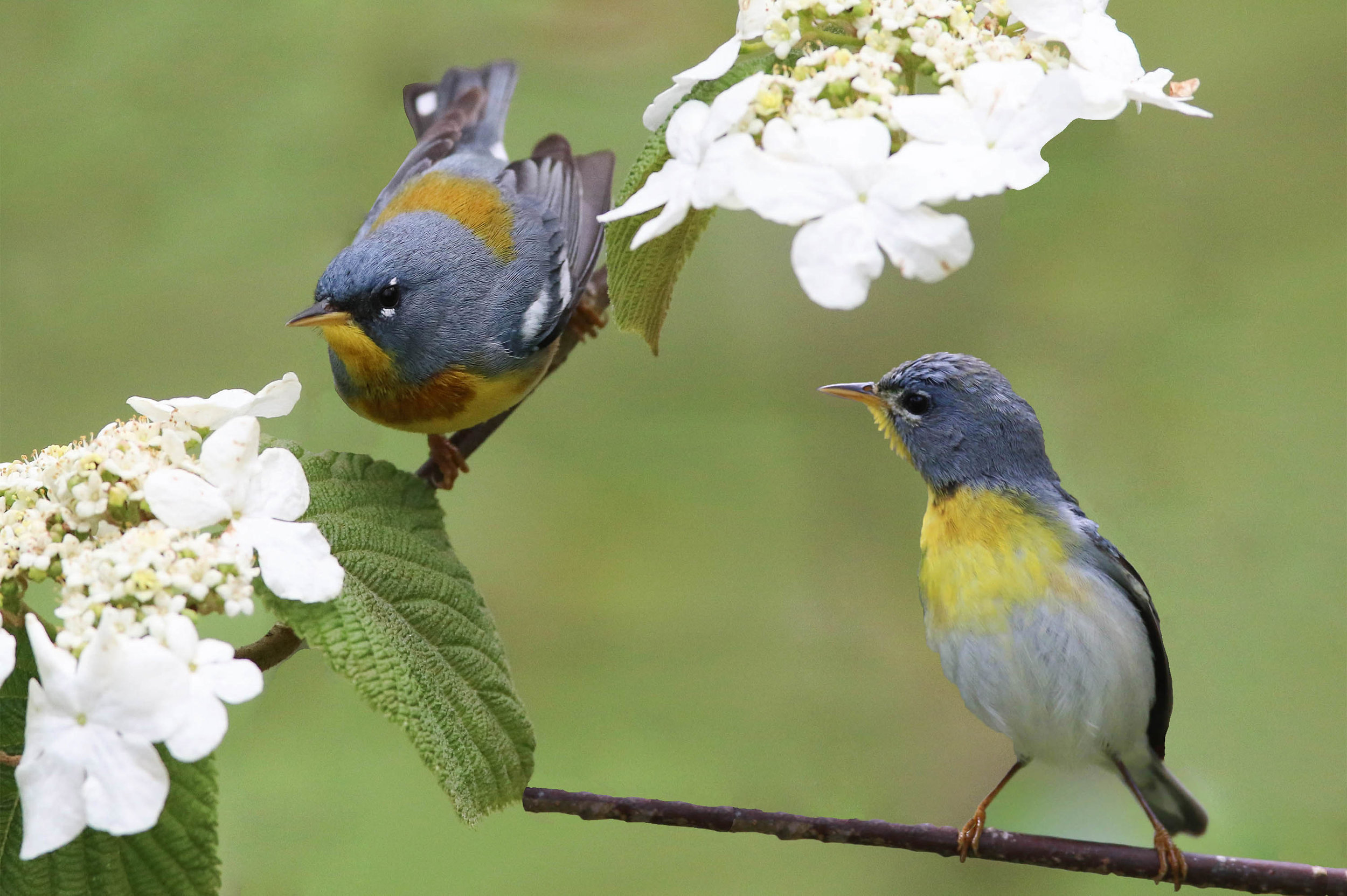 Northern Parula   One of the first warblers to arrive in spring. This pair was photographed foraging on a blooming hobblebush just off the Blue Ridge Parkway.