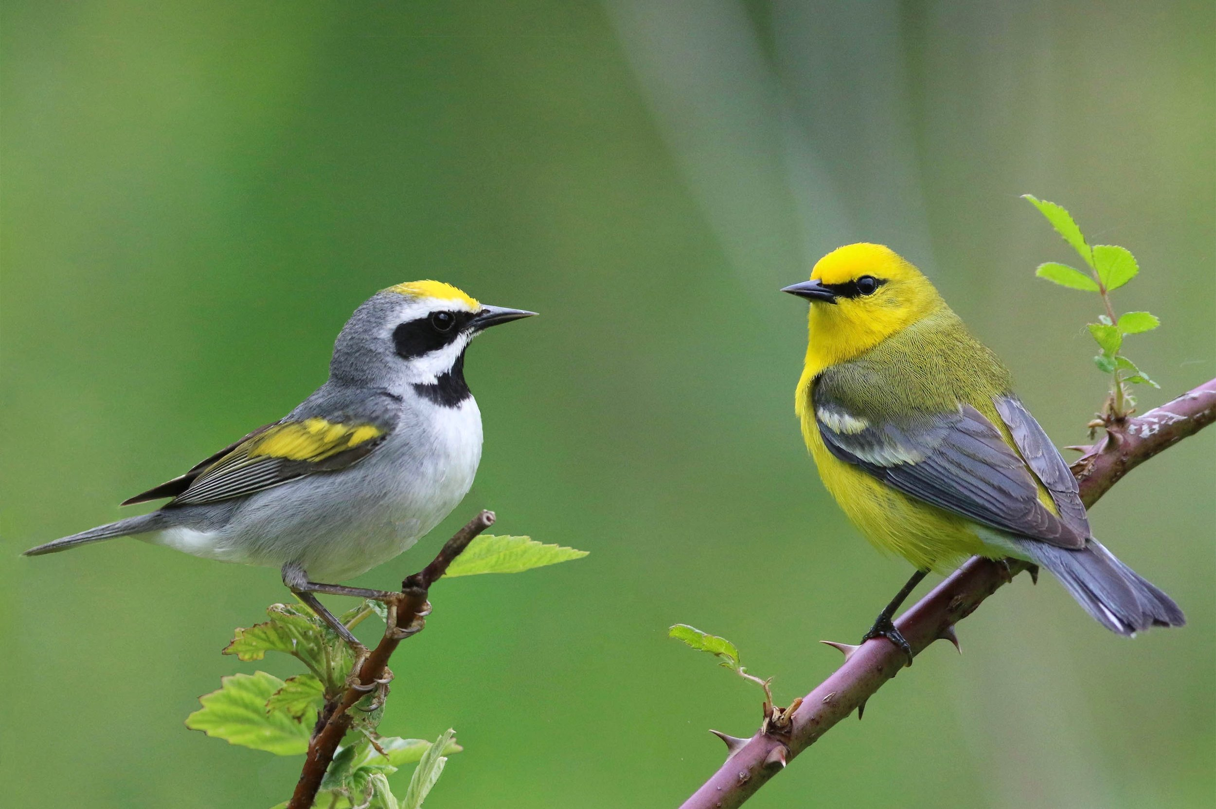 Golden-winged and Blue-winged Warbler   Both crowd favorites, these handsome and competing species are virtually identical genetically. The Blue-winged warbler continues to push the range of the Golden-winged warbler farther northward. Both species are targets on the Michigan Photo Journey.
