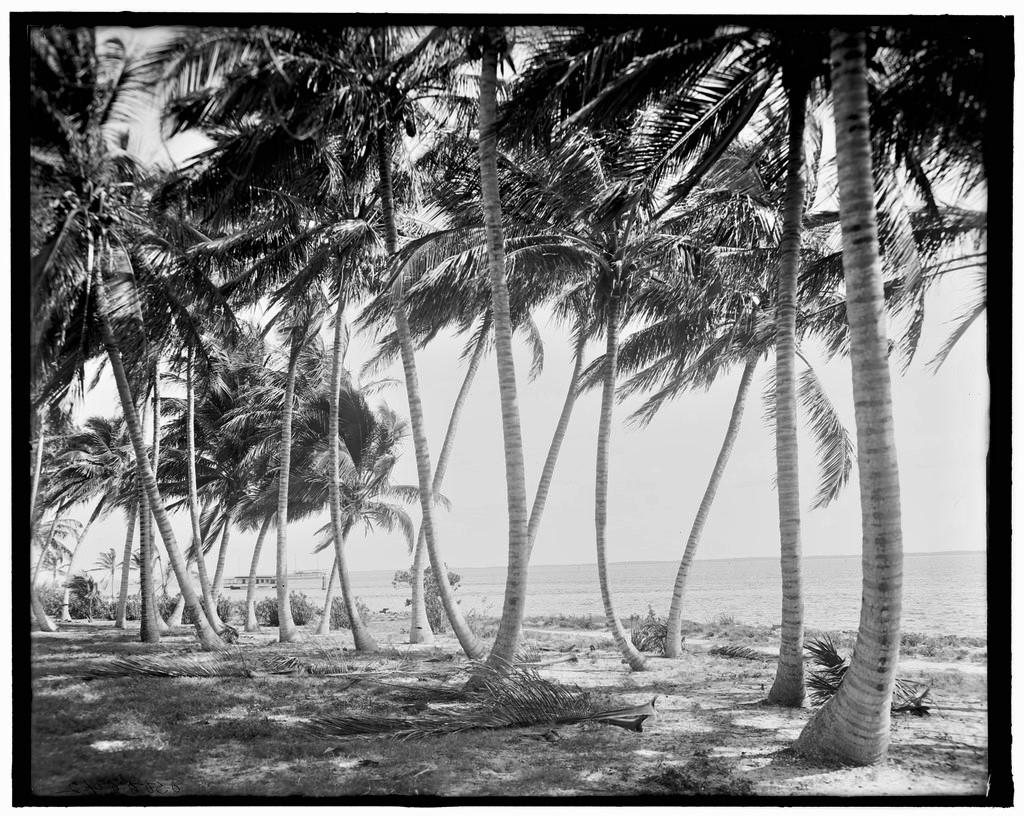 Biscayne_Bay,_through_the_cocoanut_trees,_Miami,_Fla.tif.jpg