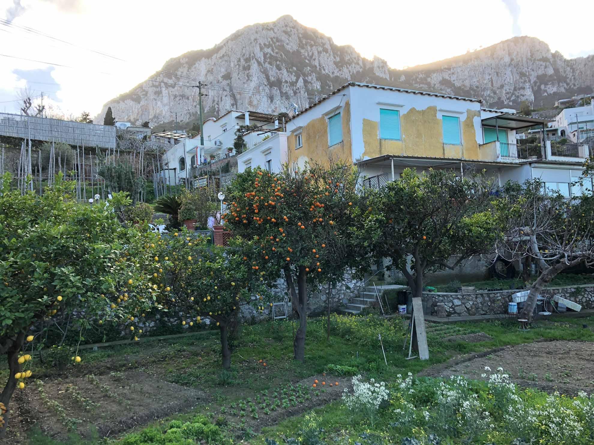 Zitronenbäume im Garten.