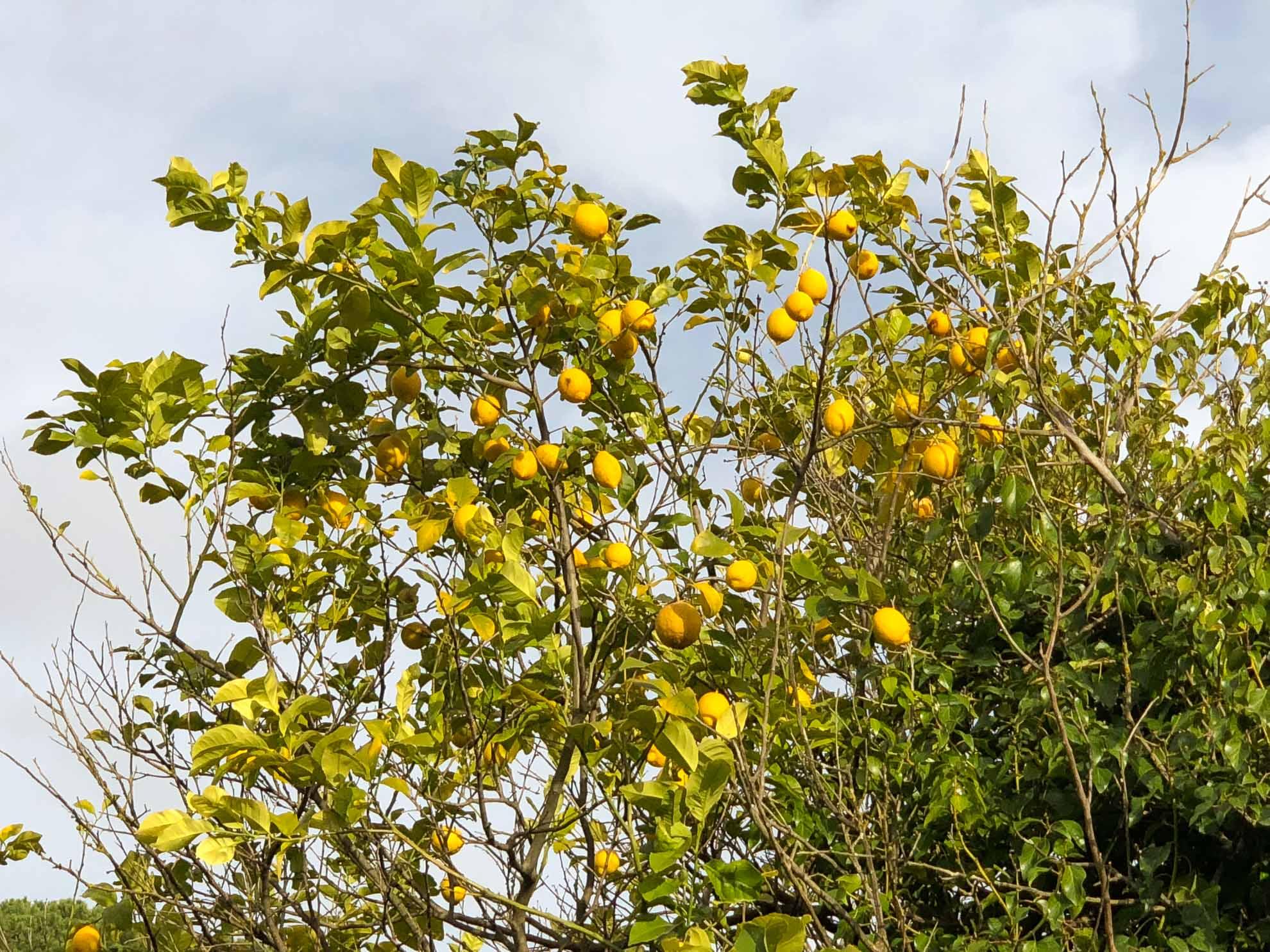 ... mit Zitronenbäumen …