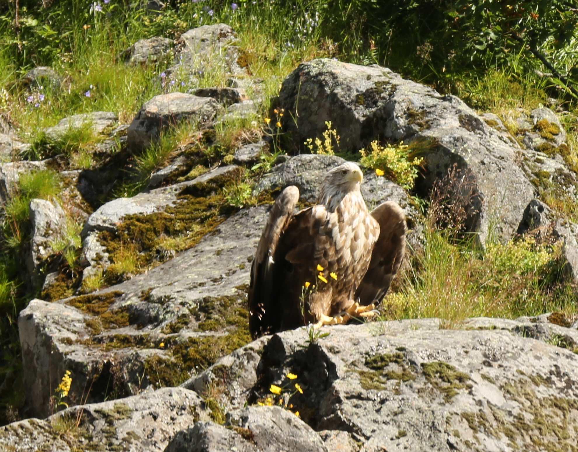 ... die größten Raubvögel Norwegens.