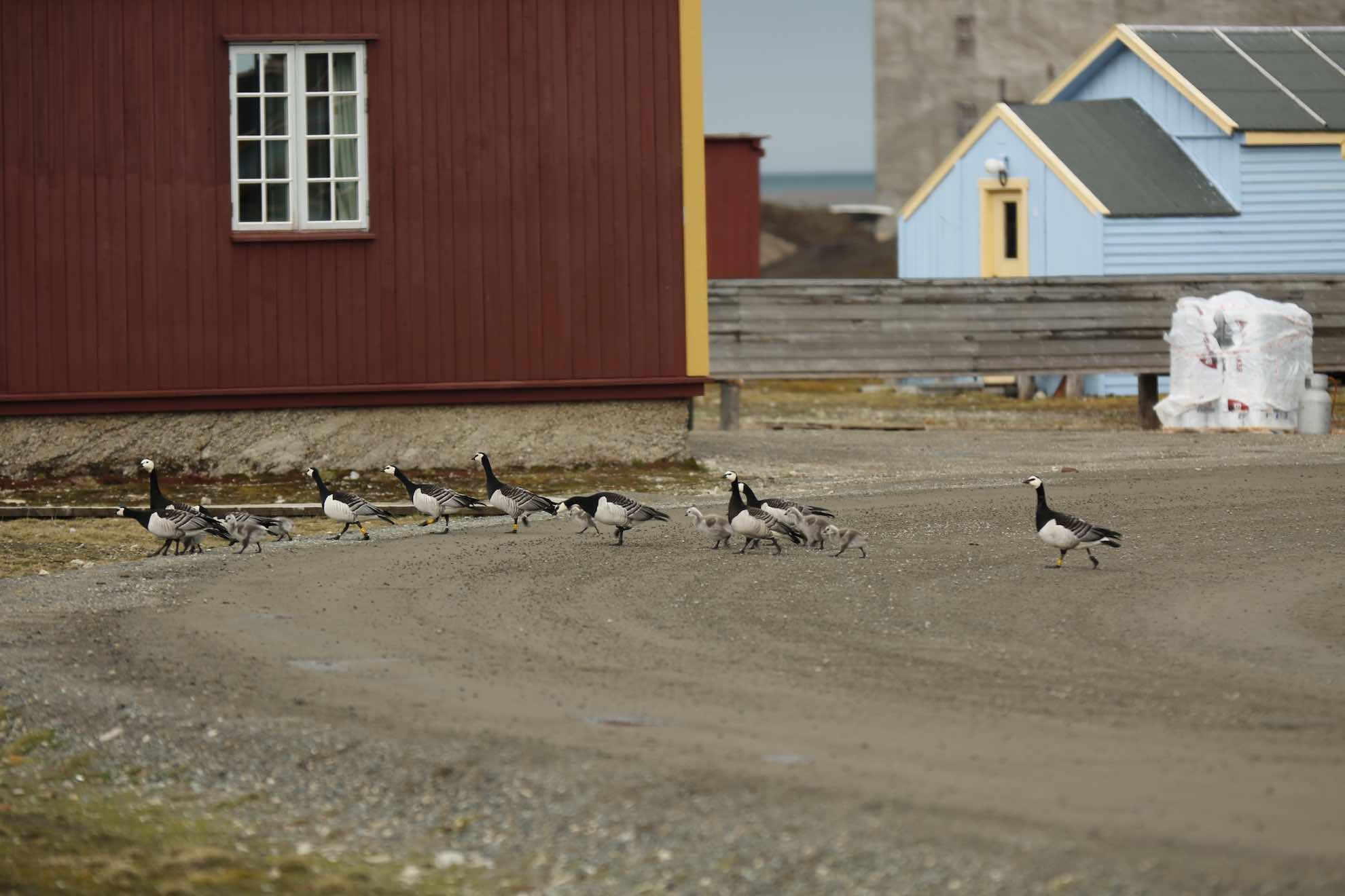 Einst wurde Ny-Ålesund als Steinkohle-Bergbausiedlung gegründet.