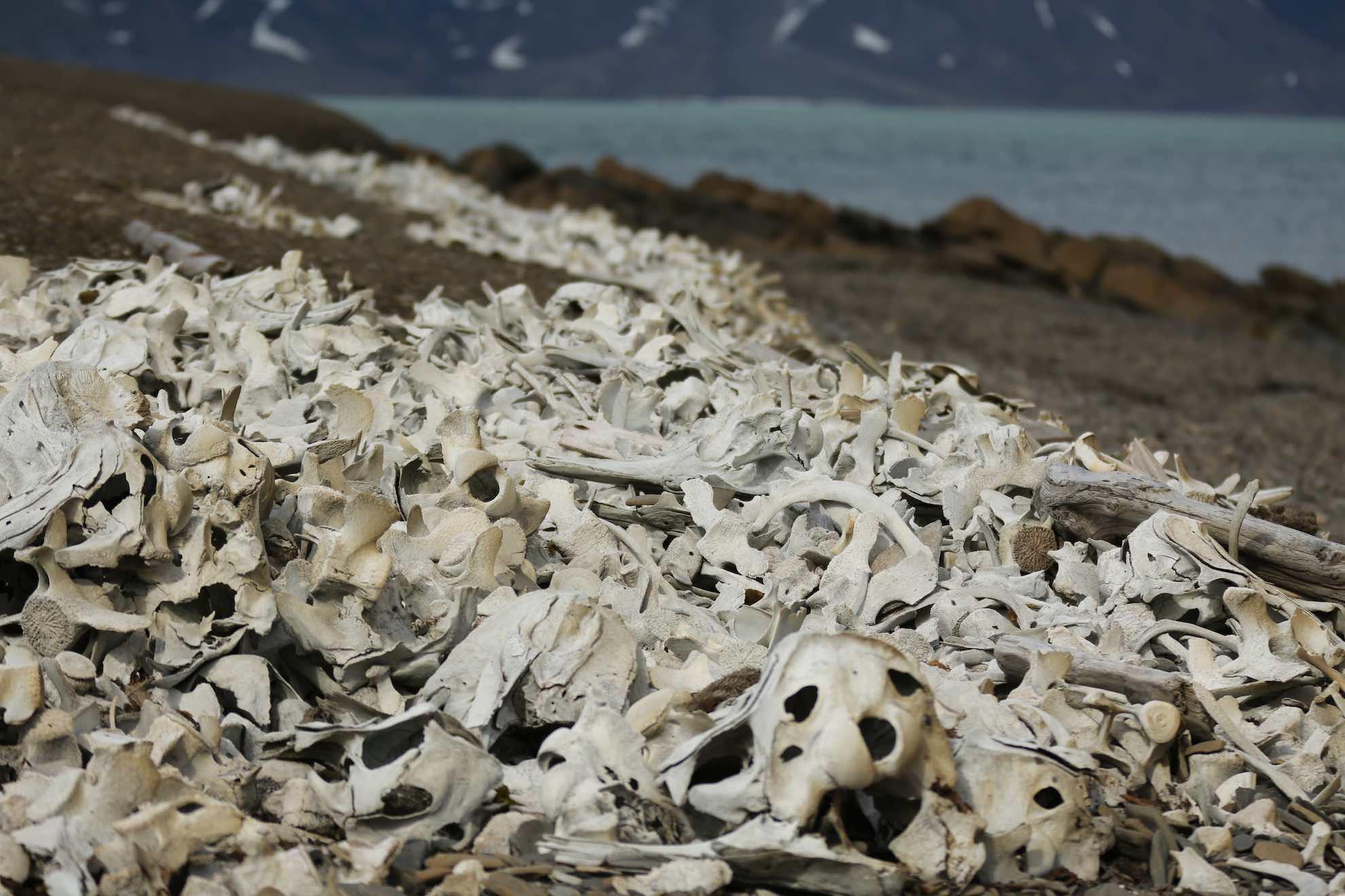Noch heute liegen zahlreiche Skelettreste der Wale am Ufer.