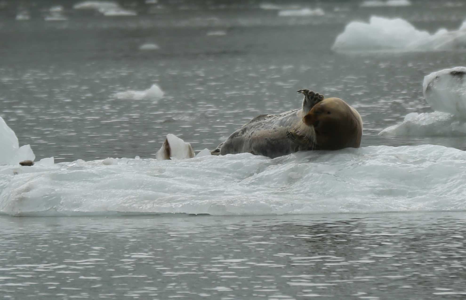 Meist liegen sie allein oder zu zweit auf Eisschollen.