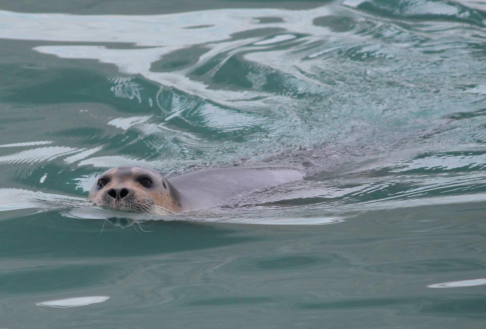 Auch Seehunde sind auf Svalbard verbreitet.