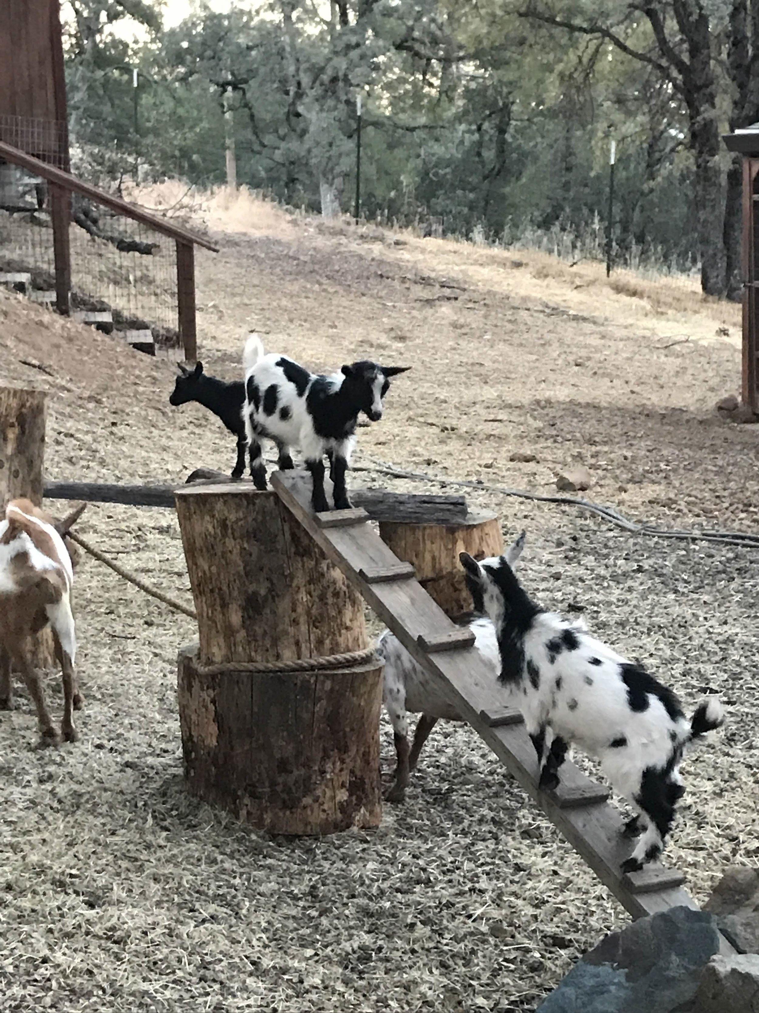 Goat Gym.jpg