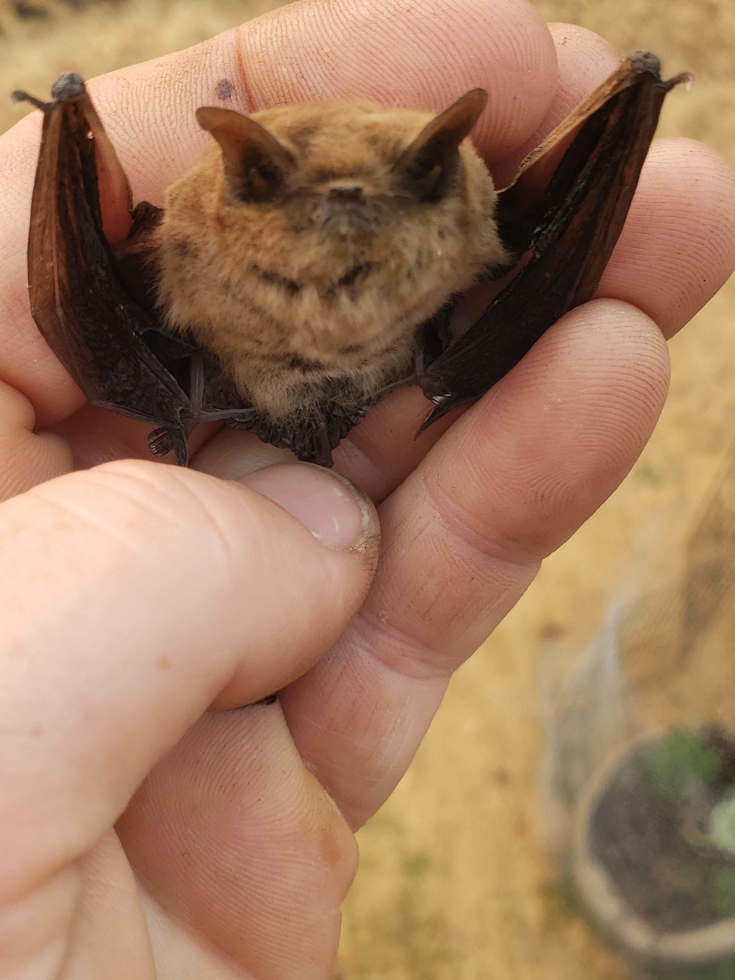 Baby Bat1.jpg