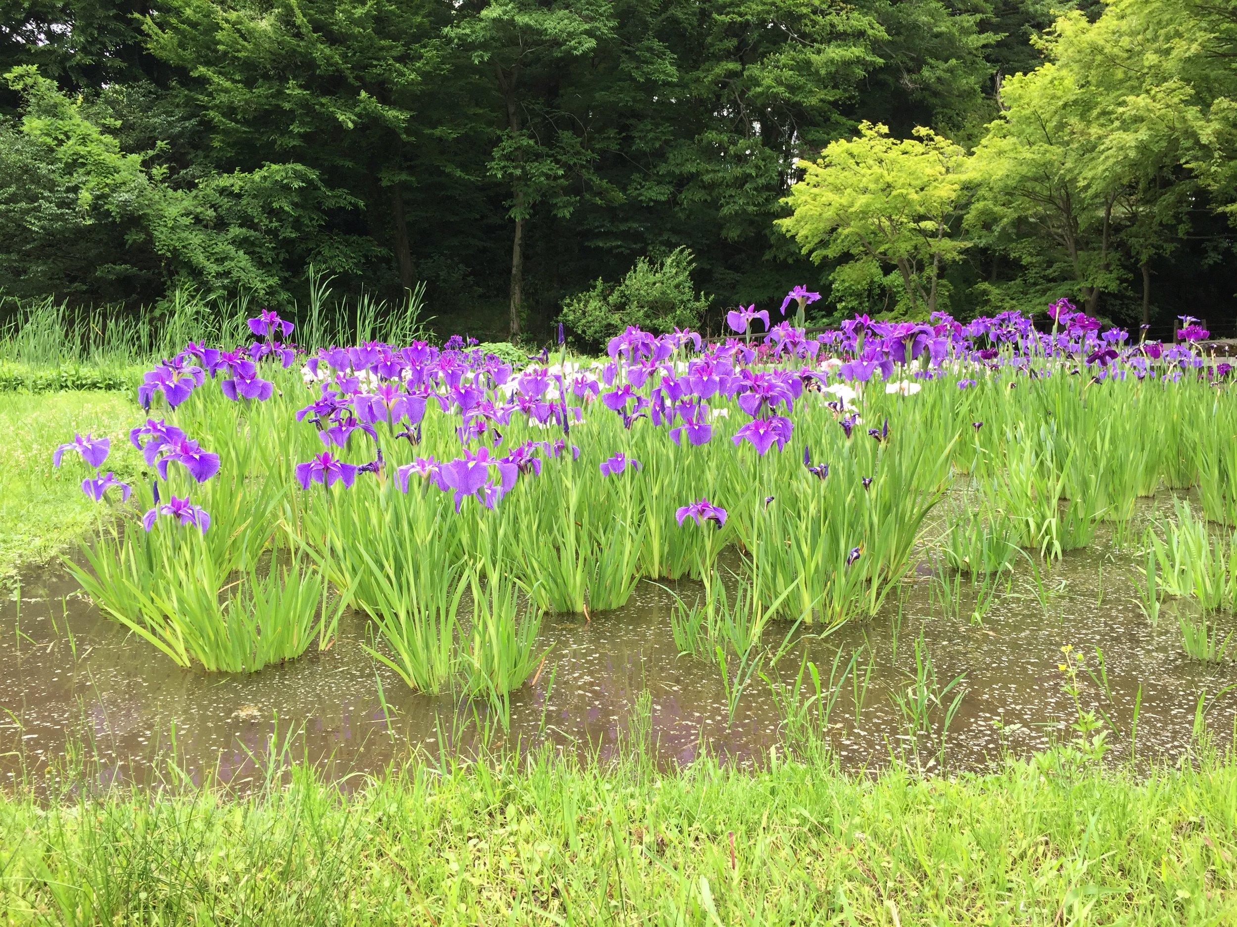 Kakitsubata at Jindaiji Botanic Gardens