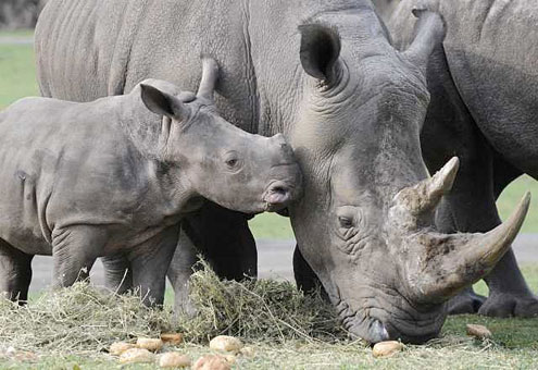 There is no substitute for watching rhinos in real-time!