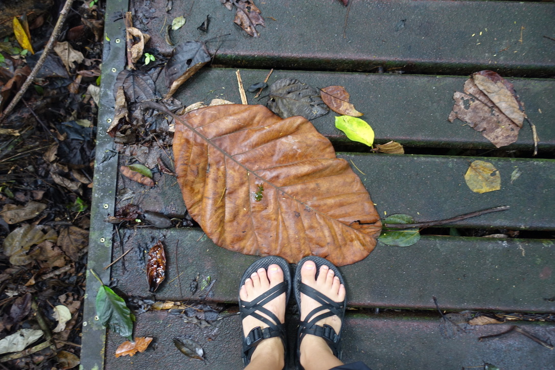 Big leaf little feet