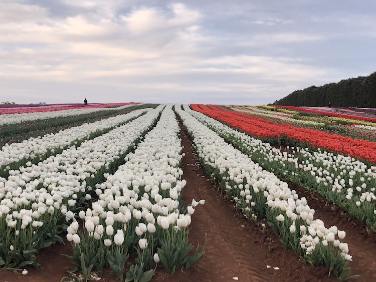 TULIPS AS FAR AS THE EYE CAN SEE