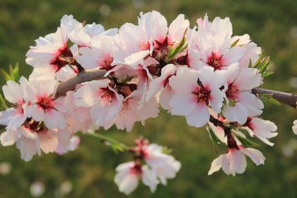 Mandelblüte - Die alljährliche Mandelblüte im Januar/Februar überzieht weite Teile der Insel mit ganzen 7 Millionen blühenden Mandelbäumen - ein wirklich sehenswertes Naturschauspiel und die perfekte Zeit, die Insel bei einer Wanderung oder Radtour zu erkunden. Oder aber mit der historischen Eisenbahn von Palma nach Soller zu fahren.