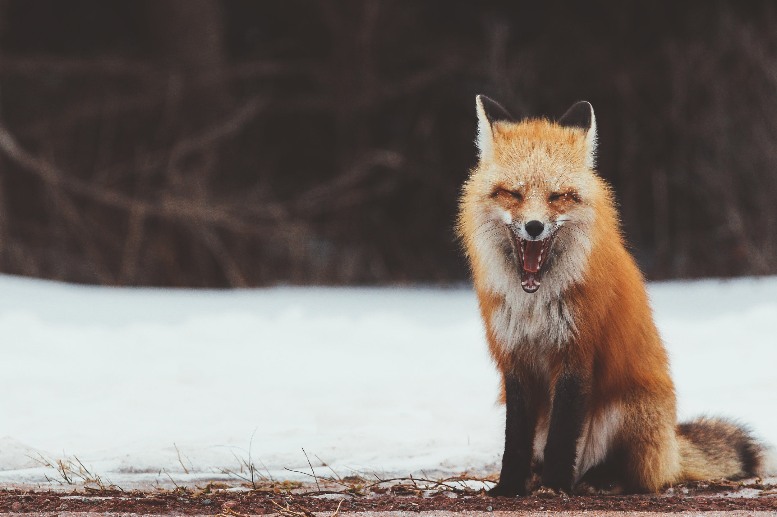 Red Fox, laughing, smiling? PEI Winter, 2015.