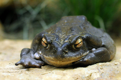 The Bufo Alvarius toad, otherwise known as the sonoran dessert toad or the colorado desert toad