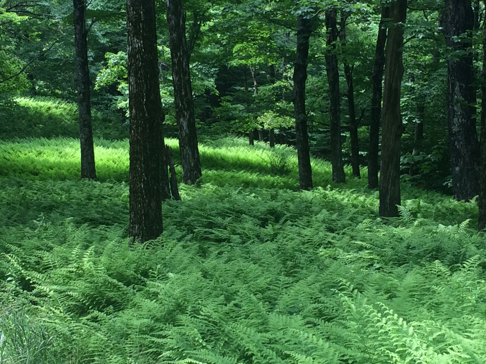 Fern beds galore along the TCT.