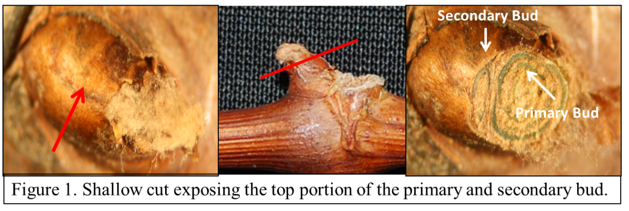 The cut in figure 1 is too shallow to get an accurate assessment if the bud is alive or dead, but it is a good look at the top portion of a healthy bud. The light brown material surrounding green tissue is normal and is not to be mistaken for damaged tissue.