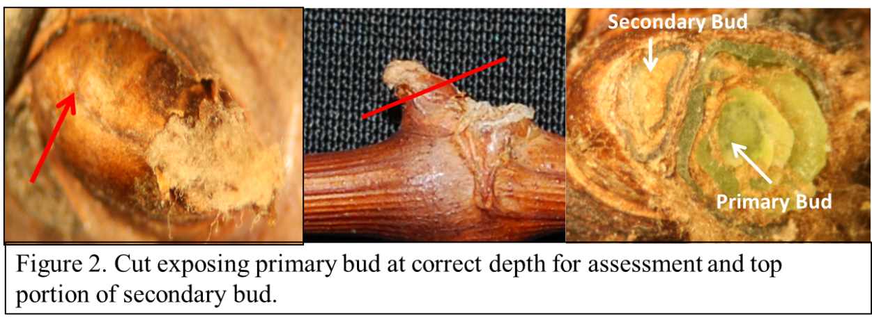 Figure 2 is an example of the correct depth needed to determine if the primary bud is alive or dead. Bright green tissue signifies if the primary bud is viable/healthy and should be scored as an alive bud. The secondary in the figure 2 needs to be cut deeper for assessment.