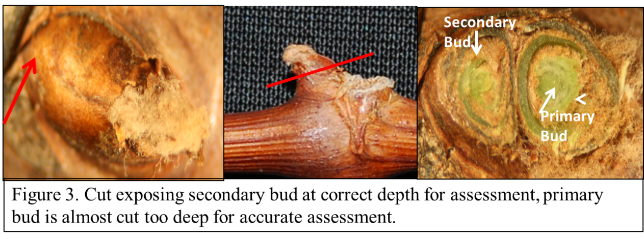 Figure 3 shows the secondary bud cud at the correct depth for assessment. Be careful not to cut too deep. Figure 3 is the lowest I would recommend cutting for evaluation.