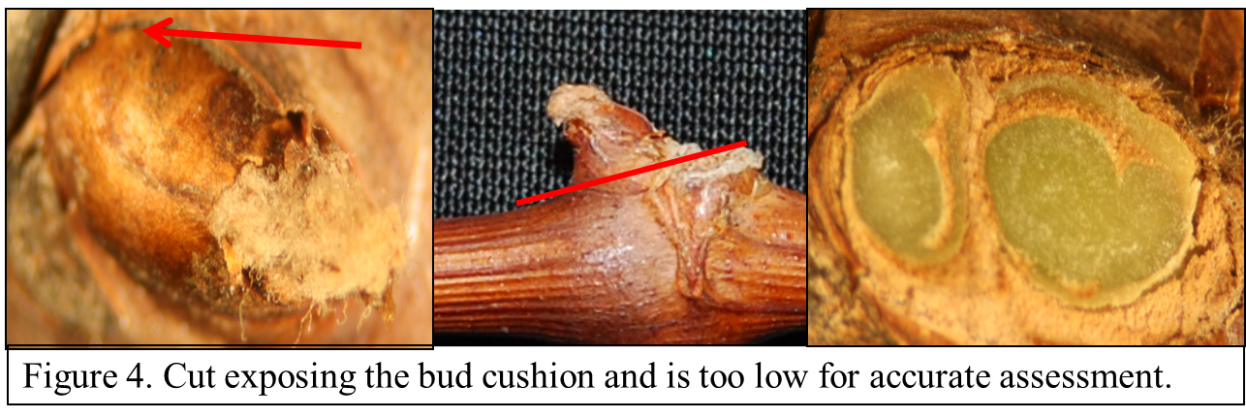 Figure 4 shows a cut that is too deep for a good assessment. The green tissue you see in this picture is the bud cushion. In most cases of freeze damage the bud cushion will still be green and is the reason it is important not to cut too deep.